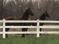 fenceline-horses